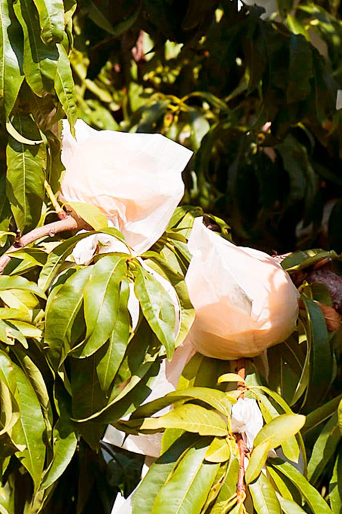 Calanda Peach Tree