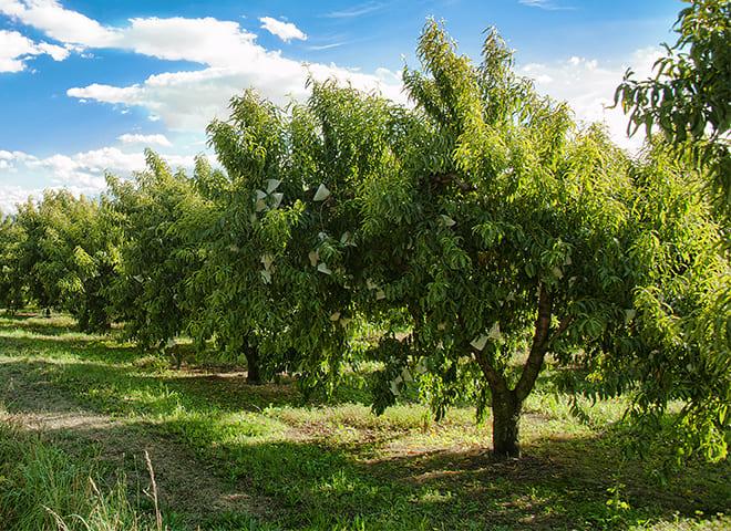 Cultivo del Melocotón de Calanda
